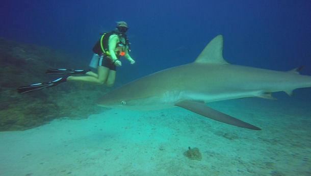 Shark Diving St Maarten